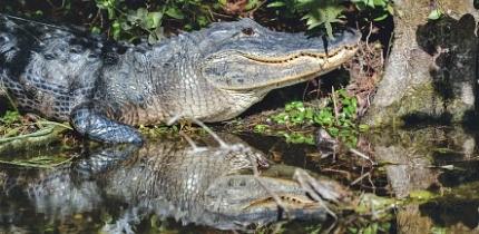 Alligator_170401_B3_g.jpe
