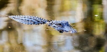 Alligator_170401_B4_g.jpe