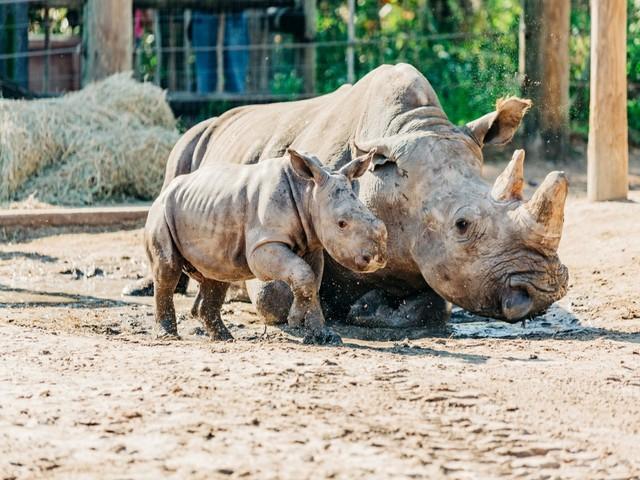 Nashorn Tampa Zoo