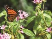 Monarchfalter, Selby Botanical Gardens, Sarasota