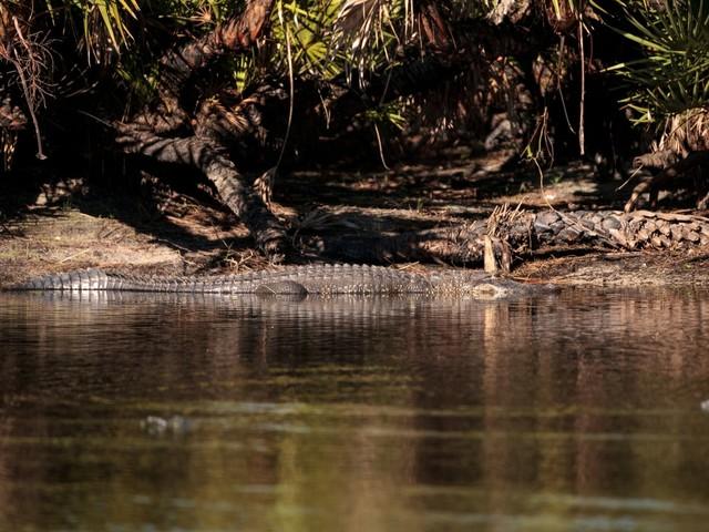 PuntaGorda_Alligator_ SunflowerMomma_shutterstock_775660033_1000x750.jpg