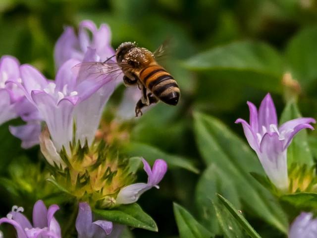 Honigbiene Fort Lauderdale