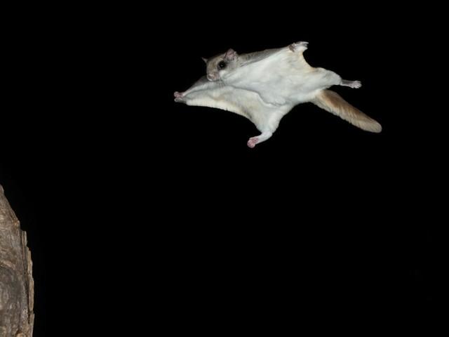 Südliches Gleithörnchen im Gleitflug