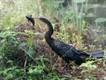 Everglades: Amerikanischer Schlangenhalsvogel (Foto © IrinaK/Shutterstock.com)