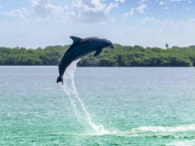 Delfin vor Anna Maria Island