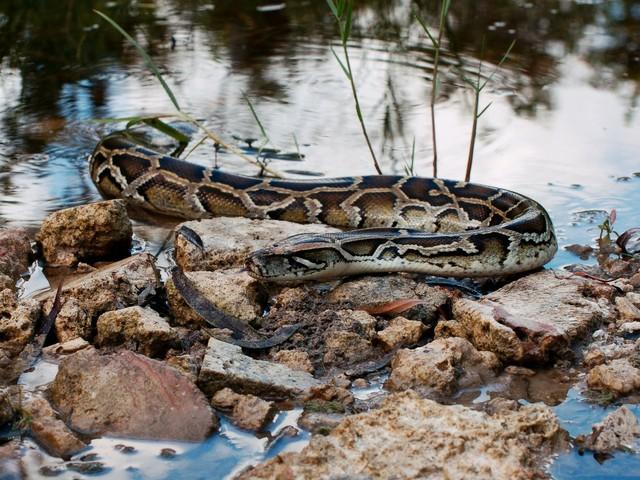 Dunkler Tigerpython (Python bivittatus)
