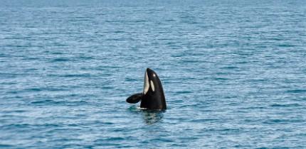 SeaWorld_Orca_0316_B2_g.png